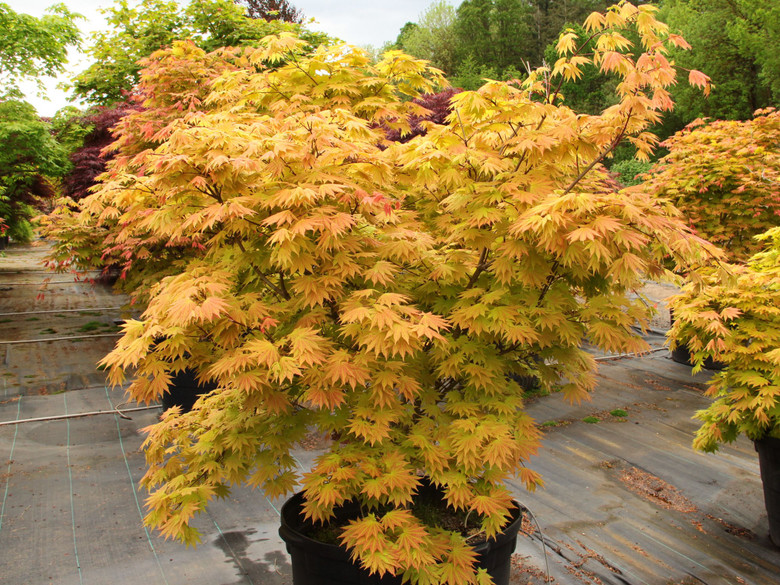Vigorous, versatile and unbelievably easy to grow, this small, dramatic Full Moon maple boasts orange-red highlights on yellow leaves. The unusual coloring, strongest in full sun, lasts from when leaves emerge in spring until they go rich orange-red in fall. In shade, leaves start out with orange-red highlights, and settle on yellow in early summer.