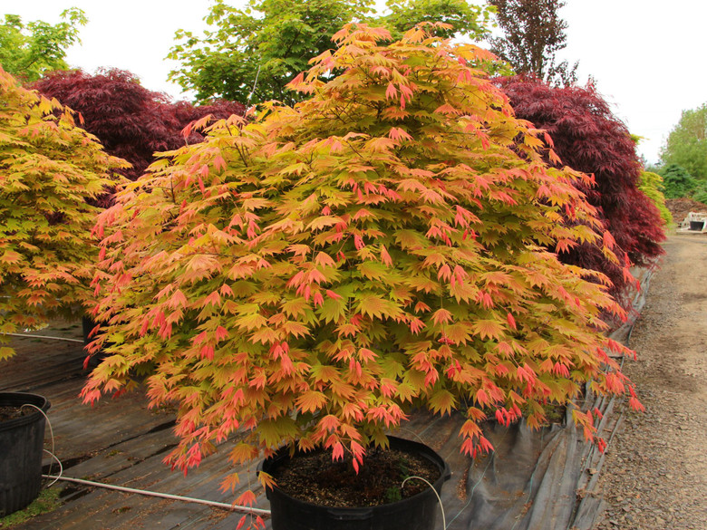 A fairly new variety that has a coloration similar to 'Autumn Moon', bright red growth in spring, more orange-yellow for summer, but can withstand full sun quite well.