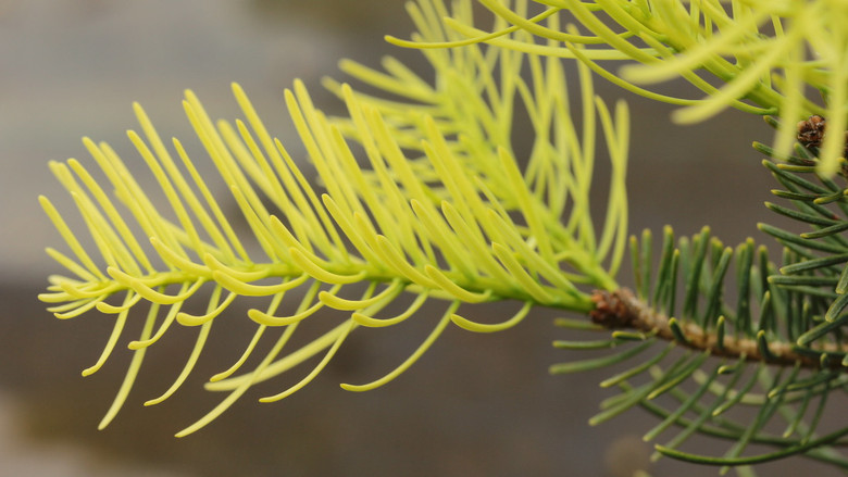 Thin, blue-green needles are dipped with a beautiful cream-white color, giving a very unique color combination to this new selection of fir. Found, named, and introduced in Europe.