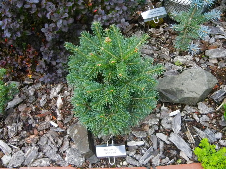 Appropriately named, this slow-growing, sub-alpine fir literally becomes a green globe. Its short, soft, green needles and rounded habit make a fantastic ball in a mid-sized garden.