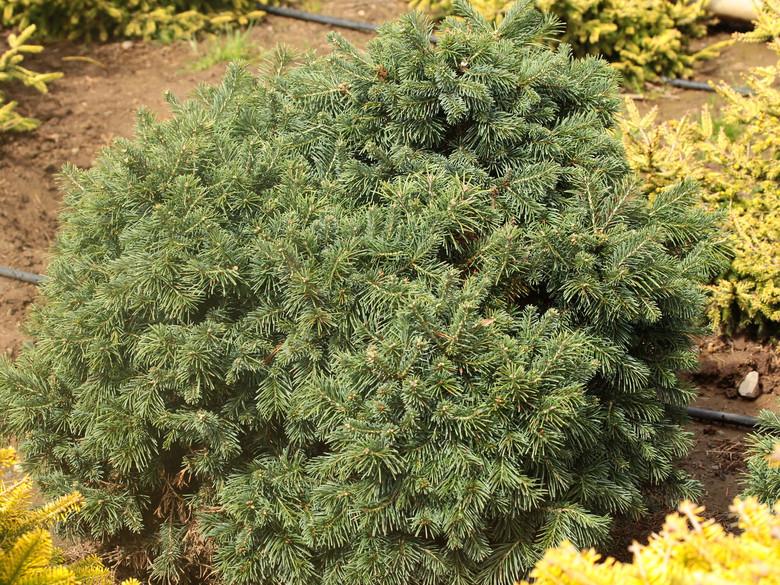 Abies Lasiocarpa Green Globe Subalpine Fir