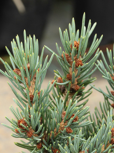 This very compact, miniature spruce has bright blue foliage. An introduction from Jerry Morris.