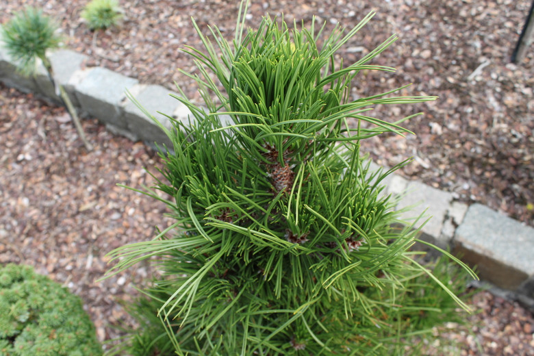 This dense, pyramidal pine has dark-green needles that first emerge in short clusters at each branch tip. The contrast of needle length is truly outstanding!