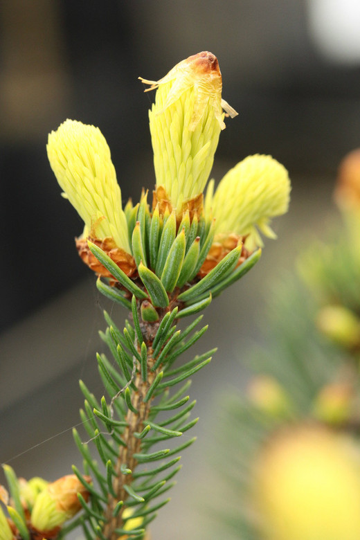 A pyramidal spruce with green needles most of the year, except in spring when new growth bursts forth with creamy golden-yellow coloration. This variety heralds the arrival of spring by being one of the first to break bud!