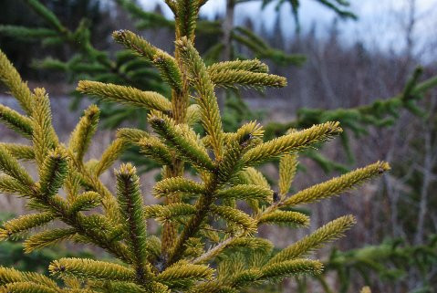A golden-yellow spruce that was found growing in the wild by Mike &Cheryl Davison. It grows in a pyramid shape with a growth rate slightly slower than the species.