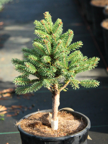 A dwarf spruce found by Gary Gee &Bill Barger