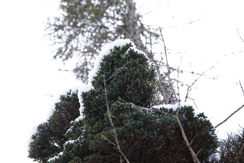 This extraordinarily-tiny spruce was found as a witch's broom by Mike &Cheryl Davison. The needles are minuscule with a grayish, blue-green color.
