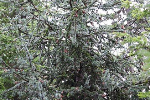 Picea engelmannii 'Bad Hair Day'