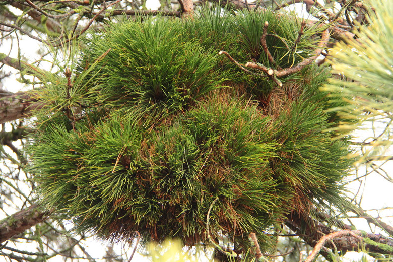 A tight, globose witch's broom found by Sam Pratt in Canby/Yoder, Oregon. Dark-green needles and very dense form make this a superb dwarf.