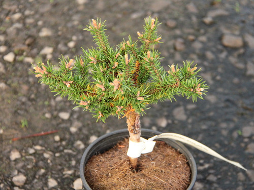 A dwarf pine found as a witch's broom by Gary Gee &Bill Barger.
