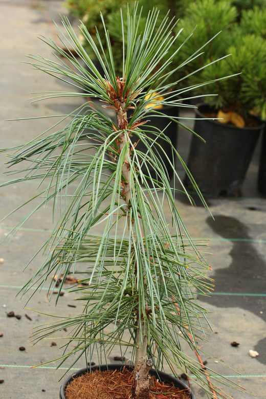 An uncommon hybrid that has massive cones and long, lush needles. A really unique combination of species that makes for an impressive, large-growing tree.