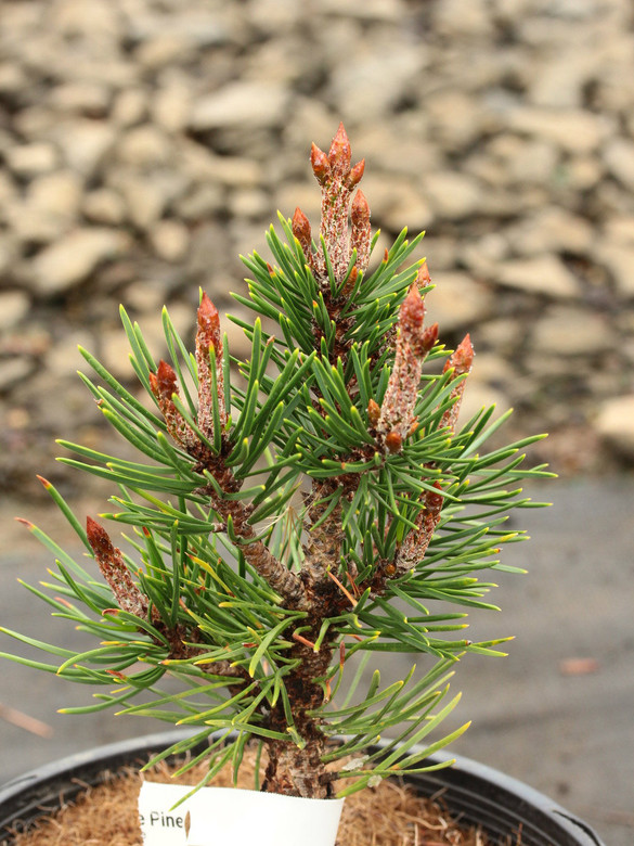 This broad, globose selection of Lodgepole Pine grows with long, dark-green needles and pronounced candles in the winter. One of few dwarf selections of this species!