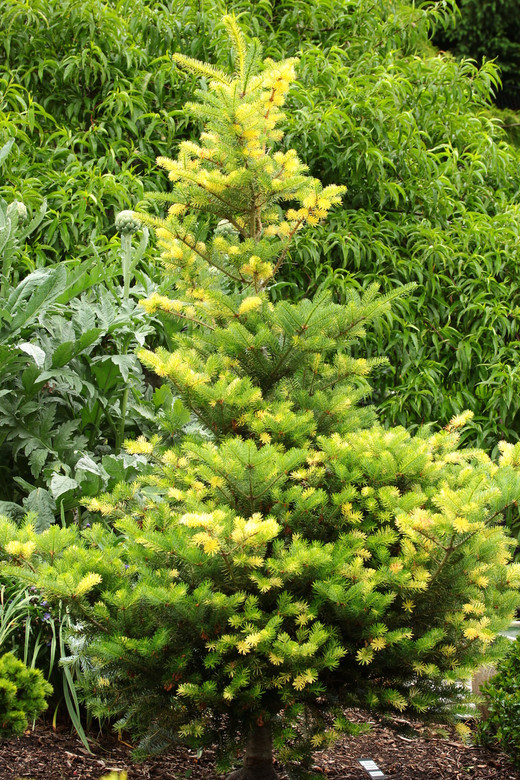 Yellow branches appear here and there on this otherwise dark green Korean fir. A conical form and interesting coloration give the unique, slow-growing conifer a distinctive look.