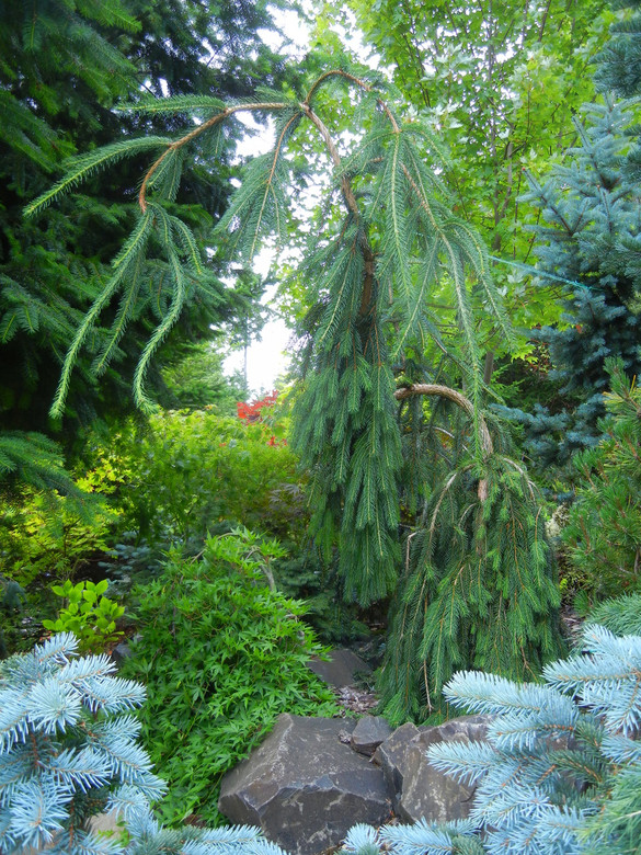 This peculiar spruce has the snake-branching attribute of 'Virgata' and the weeping habit of 'Reflexa'. A very unique, strictly weeping but sparsely-branched tree!