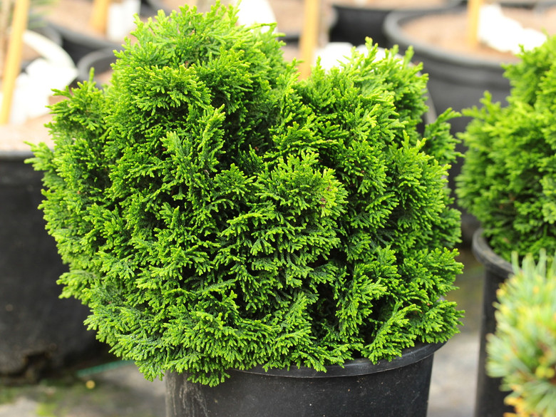 Stoneham is one of the tightest, most rounded varieties of Hinoki cypress. Its dark green foliage and cushion shape make it an adorable plant for a trough garden or railroad garden.