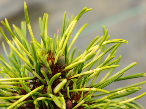 Pinus koraiensis 'Golden Eye' _ Korean Pine _
