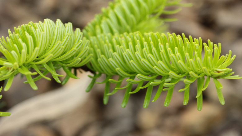 Neatly-arranged blue-green needles are accented by prominent orange-brown buds on this compact dwarf fir.
