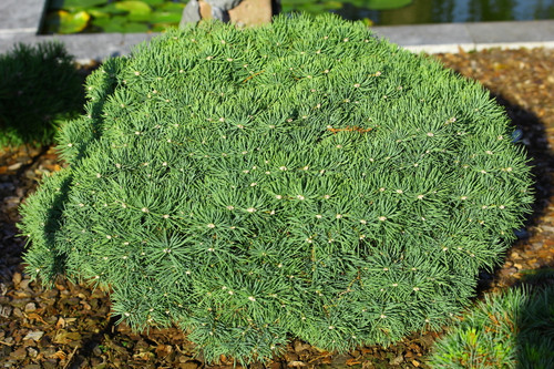 Short, bright blue needles give a beautiful color to this incredibly dense and slow-growing fir. An excellent choice for a rock garden!