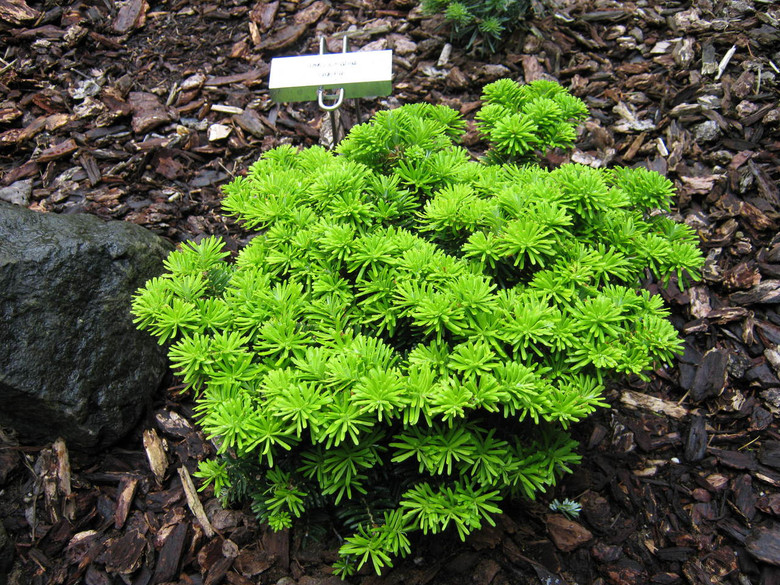 A low-growing fir with incredibly dark needles and prominent, resinous buds. A very handsome dwarf conifer with excellent year-round color.