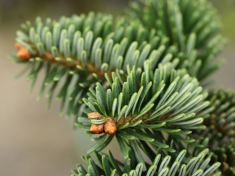 This low, slow-growing fir has rich, dark-green needles that are densely arranged on the compact branches. It forms a nice flat-topped globe. It has been incorrectly known as a cultivar of Abies koreana.