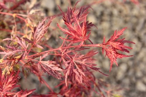 A compact-growing and mounding laceleaf with distinct, scarlet-red foliage. Similar to 'Crimson Princess' but slightly brighter color and a much slower rate of growth. Introduced by Ash Tree Farm in North Carolina.