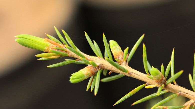 A slow-growing, somewhat spreading cedar with bright green foliage and long needles.