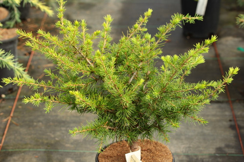 A slow-growing, somewhat spreading cedar with bright green foliage and long needles. Great for container or bonsai plantings.