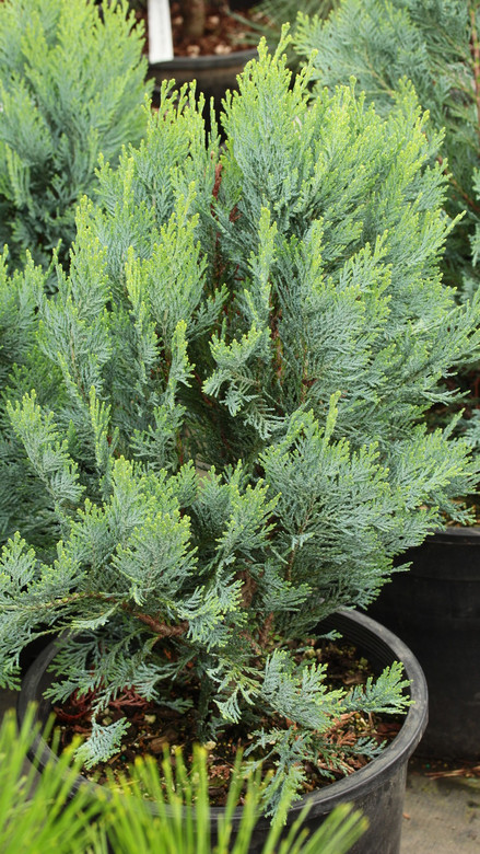 This fastigiate plant has the best blue color. A unique variety that is a welcome addition and vertical accent to any landscape.
