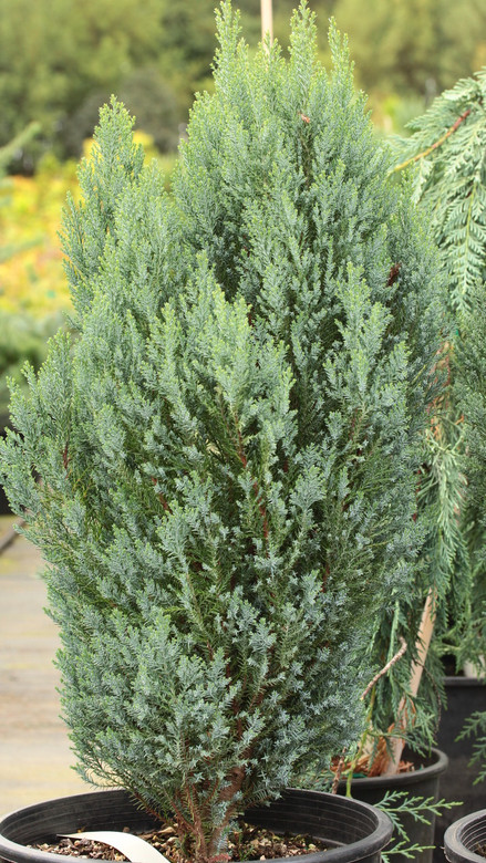 A tight, columnar plant with bright blue, juvenile foliage. The soft texture and bright color make this dwarf a delightful addition to any garden.