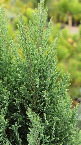 A dense, shrubby variety with silvery, blue-green needles. It was found by R. Murray of Allandale Nursery, Willerby UK in 1983 as a mutation off of Chamaecyparis lawsoniana 'Ellwoodii'.