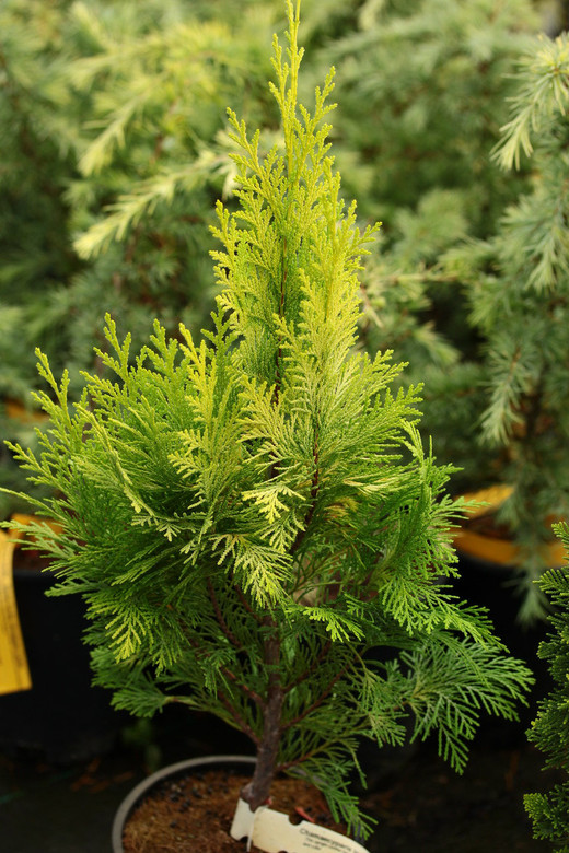 This upright conifer has feathery sprays of bright, golden-yellow foliage. A beautiful, narrow plant with gorgeous texture and color.