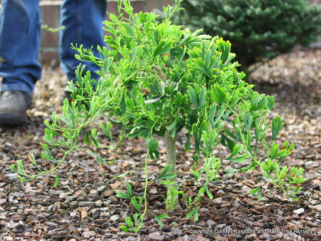 Each twig has a slight kink between the leaf nodes, giving this slow-growing plant a zig-zag appearance.