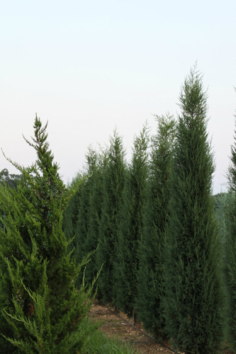 A narrowly columnar plant with blue-green foliage. A good versatile substitute for the Italian cypress.