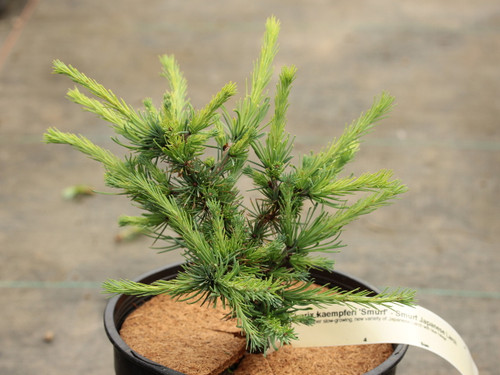 A rather slow-growing, new variety of Japanese Larch with blue foliage.