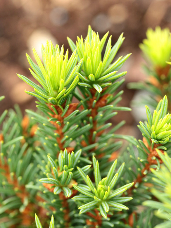 Short, densely-set light-green needles have subtle glaucous bands. Pointed, orange-brown buds are another distinguishing characteristic. This cultivar was found as a witch's broom at Evergreen Golf Course in Mt. Angel by Stephanie Krieg.