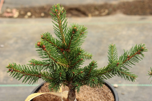 This low-growing, mounding spruce has dark green foliage that is widely-spaced. The texture is similar to 'Hillside Upright'.