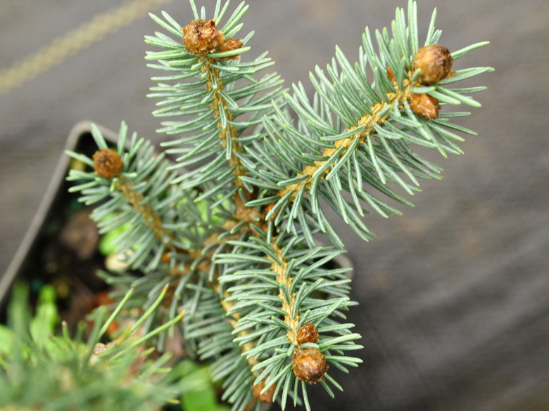 This compact Engelmann spruce has bright blue foliage and prominent orange-brown buds. It will form a wide disc shape as it matures, giving it a delightful shape and color, fitting even in smaller gardens.