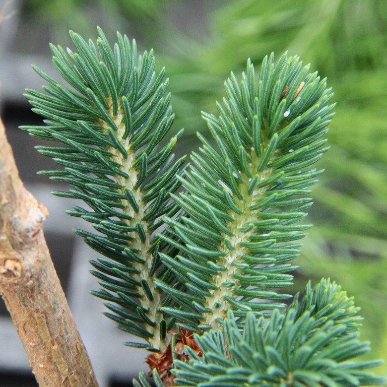 This dwarf spruce originated as a witch's broom and has short, grayish-blue needles on a very slow-growing plant. Originally mistakenly thought to be a variety of Picea likiangensis var. balfouriana.