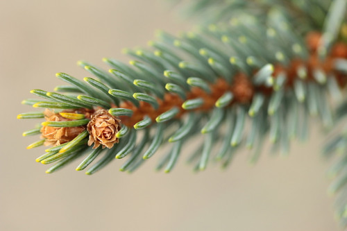 This blue-green spruce has fascinating needle texture. Needles taper towards the branch tips. It could be the same as 'Bedgebury Cascade'.