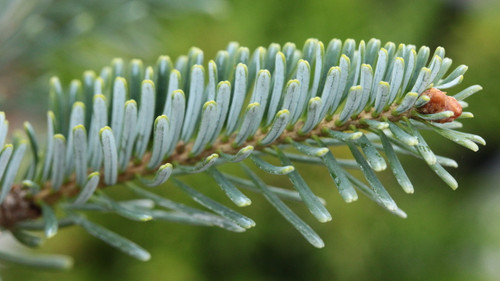 Beautiful dark bluish green needles are fairly long on this hybrid fir. The wonderful color and compact growth habit both show characteristics of this variety's parentage of Abies koreana and Abies lasiocarpa.