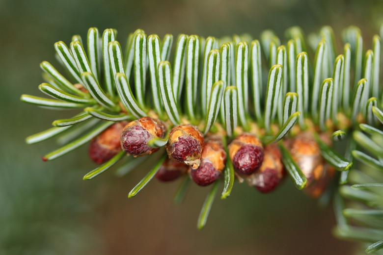 Dark, blue-green needles are fairly stiff on this dwarf fir. The rich color and slow growth make it a unique selection. Should be staked to form a dense pyramidal tree.