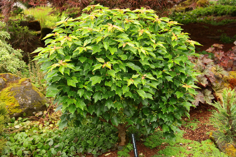 Dark, glossy green leaves are layered symmetrically on the stout branches of this compact cultivar. Fall colors of yellow and orange add additional interest before winter.