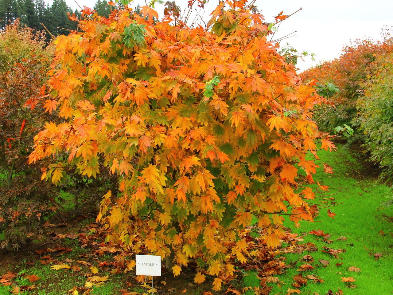 Acer Japonicum Vitifolium Japanese Maple