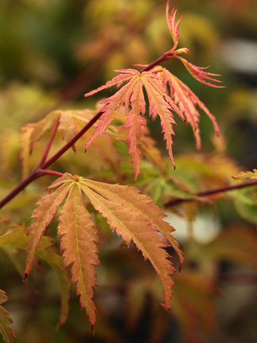 A slow-growing variety with greenish leaves, having a reddish blush. Fall color is a mix of gold and red.