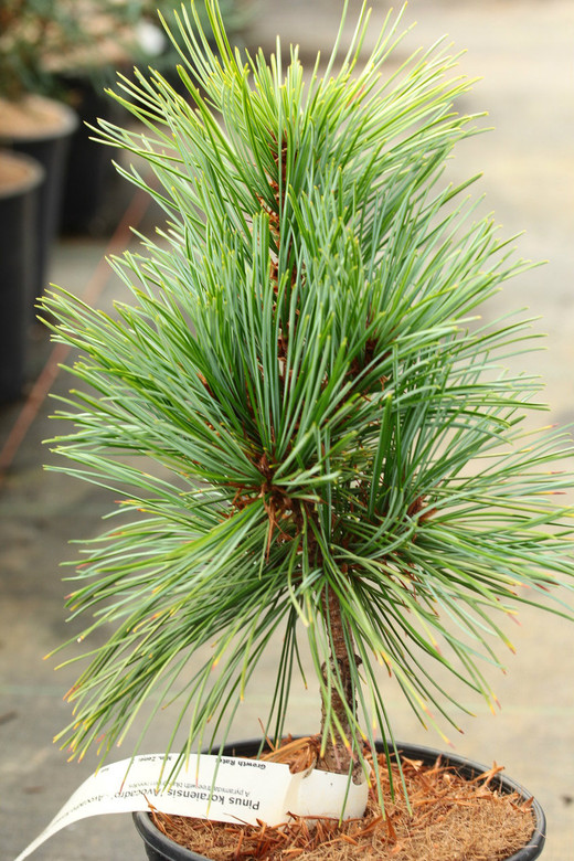 A pyramidal pine tree with blue-green needles.