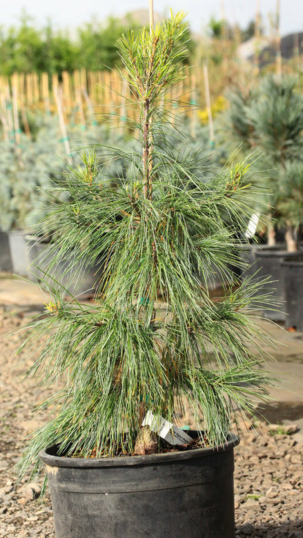 An irregular-growing pine with thin, long and soft needles and a weeping habit.