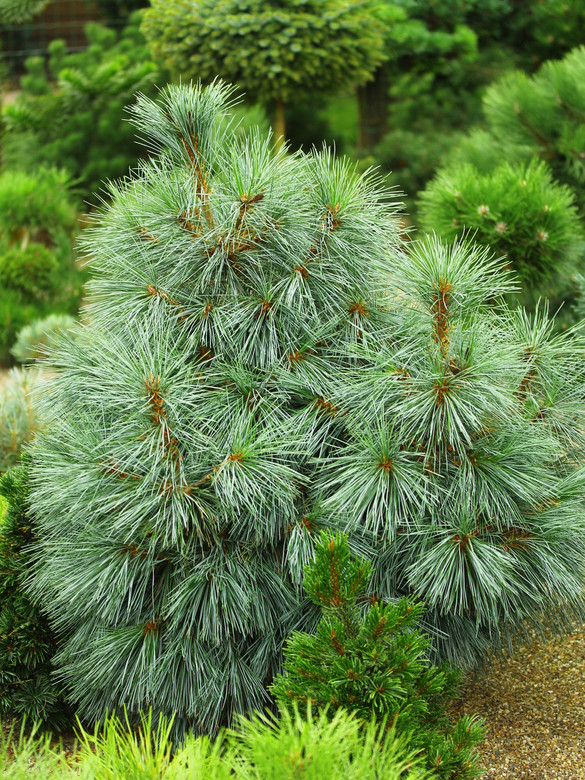 Jerry Morris is responsible for discovering this beautiful, compact pyramidal pine with blue-green needles. It is one of the very few cultivars of Pinus monticola!