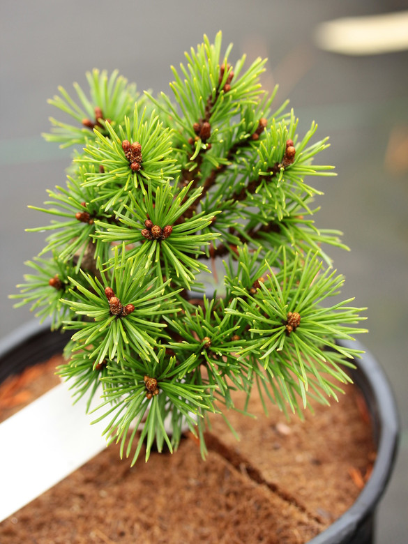 This incredibly compact pine has rich, dark-green foliage. It was found as a witch's broom on Pinus mugo 'Mops' by Richard Haslebacher of Conifer Kingdom.