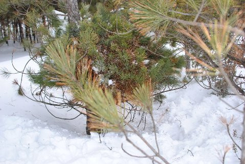 This dwarf variety was found as a witch's broom right at knee-height by Mike &Cheryl Davison. The original broom was somewhat spreading and irregular-growing--very interesting!