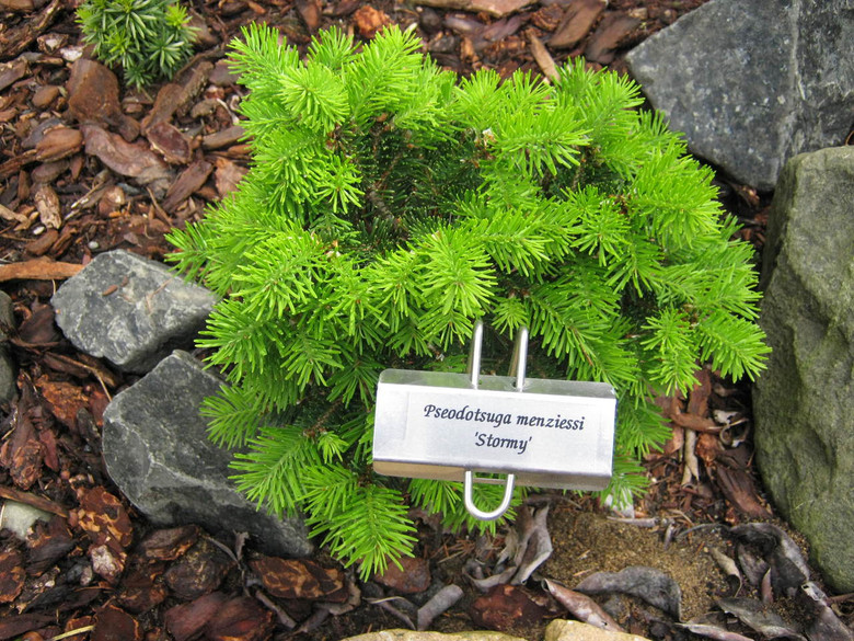 This, compact, globose conifer was found as a witch's broom by Jerry Morris. Short, green needles decorate this lovely Doug Fir.